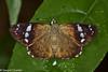 Chamunda chamunda (Olive Flat) - Male (GeeC) Tags: animalia arthropoda butterfliesmoths cambodia chamunda chamundachamunda hesperiidae hesperioidea insecta kohkongprovince lepidoptera nature oliveflat pyrginae skipperbutterflies tatai