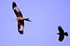 the chase 3 (Paul Wrights Reserved) Tags: bird birds birding predator birdinflight birdofprey wings spread fly flying beaks feathers redkite crow chase battle fight flight