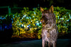 canines memory (charlidino) Tags: canine christmas dog florida k9 memory night nightphotography police security sigma30mm sonya6500