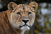 African lioness - Olmense Zoo (Mandenno photography) Tags: dierenpark dierentuin african afrikaanse lion lions leeuw leeuwen belgie belgium bigcat big cat ngc olmense olmensezoo olmen