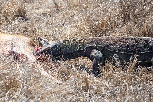 Komodo Eating