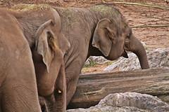 IMG_0801 (jaybluejeans94) Tags: chester zoo elephant elephants wild nature animal animals chesterzoo