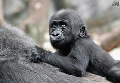 Xetsa (siggi nobel) Tags: zoo frankfurt gorilla baby xetsa
