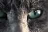 Cat Face (APJBabin) Tags: cat kitty eye macro gray face