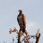 Juvenile Bald eagle 2 thumbnail