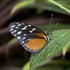 Heliconia Hecale (Ouwesok) Tags: sonya6000 komine2855mm heliconiushecale passiebloemvlinder vlinder insect vlindertuin orchideeënhoeve manualfocus