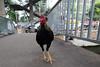 chicken on footbridge of Sathorn Pier (_gem_) Tags: travel bangkok thailand asia southeastasia sathornpier sathorn chaophrayariver river chaophraya animal chicken rooster fowl city street urban