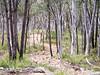 Black Forest (davehay3) Tags: eucalyptus wood australiancapitalterritory canberra act australia blackmountain black forest trees