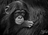 Portrait of Baby Chimp Kibibi (Amanda Blom Photography) Tags: aap monkey animal portrait portret animalshoot animalportrait blackwhite zwartwit closeup zoo dierentuin canon photography animalphotography cute sweet adorable emotion
