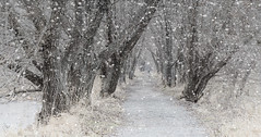 tree tunnel (marianna_a.) Tags: tree tunnel path walkway willow river snow winter mariannaarmata ile st bernard quebec canada