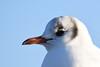 Black headed Gull, Titchwell Norfolk (JohnMannPhoto) Tags: black headed gull titchwell marsh rspb