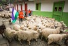 Marulanda, Caldas_FAV2122 (fotosclasicas) Tags: sheep festival carnival typical wool popular peasant dresses herd animal parade textile natural