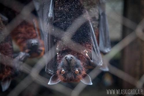 Nietoperze - przysmak Indonezyjczyków
