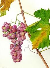 Vitis vinifera Barbarossa toscana. No National cat. . (ciuccio51) Tags: botanical art watercolour acquerello vitisvinifera botanicalart