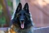 Cisco (Life of David) Tags: belgiantervurenshepard california camarillo canon5dmarkiv usa backyard beautiful beauty dog nature world100f