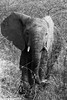 Kruger National Park, South Africa - Summer 2017-754.jpg (jbernstein899) Tags: africa elephants southafrica blackandwhite safari krugernationalparkbush
