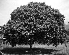 Anglų lietuvių žodynas. Žodis litchi tree reiškia litchi medis lietuviškai.