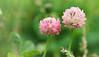 RUS62826(Duo) (rusTsky) Tags: garden nature green closeup close up pink beauty blossom bokeh canon ef100mm 5dmarkiii clover