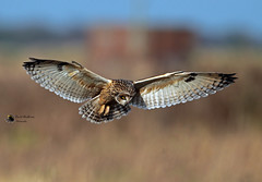 Short-eared owl (David Shallcross, Chairman, L.O.S.) Tags: owl shorteared raptor flight hovering england lunt meadows lancashire
