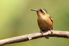 Adelomyia melanogenys (Wildlife and nature - Colombia) Tags: adelomyiamelanogenys speckledhummingbird hummingbird colibrí colibrípechipunteado cali alexpareja alejandroparejacardona