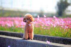 我家小可愛 (藍大衛) Tags: 寵物 狗 景深 戶外 動物 貴賓狗 紅貴賓