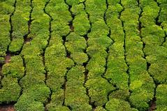 India - Kerala - Munnar - Tea Plantagen - 244 (asienman) Tags: india kerala munnar teaplantagen asienmanphotography