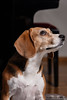 Febee (Guillaume7762) Tags: dog hund beagle chasse