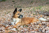 #Speedy (Janne Fairy) Tags: wald forrest herbst blätter hund dog animal pet haustier braun mix autumn fall