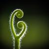 natural spirals - natuurlijke spiraaltjes (de_frakke) Tags: pumpkin pompoen hechtrankjes spiraal spiral hairy harig groen tuin