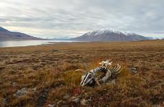 Fallen Muskox (Waldemar*) Tags: thearctic greenland payerland muskox ovibosmoschatus muskoxen bovidae mammal animal bones carcass nature landscape clouds 74°30n 74°30north