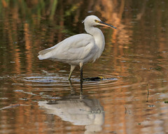 Little Egret (microwyred) Tags: pond wildlife nature heron littleegret places uptonwarren waterrail birds landscapes