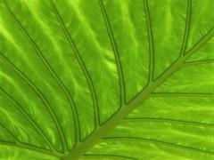 Chicago, Garfield Park Conservatory, Leaf Macro (Mary Warren 9.8+ Million Views) Tags: chicago garfieldparkconservatory nature flora plant leaf foliage green veins macro