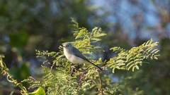 Blue-gray Gnatcatcher (Kiskadee Photography) Tags: blue gray gnatcatcher bluegray grey small cute tiny bird feather birder birding ornithology ornithologist eyering flight gnat gnateater wintering winter migrate migrating