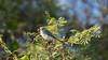 Blue-gray Gnatcatcher (Kiskadee Photography) Tags: blue gray gnatcatcher bluegray grey small cute tiny bird feather birder birding ornithology ornithologist eyering flight gnat gnateater wintering winter migrate migrating
