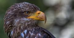 Young bald eagle (pe_ha45) Tags: greifvögel weiskopfseeadler baldeagle rapace raptor haliaeetusleucocephalus pygargueàtêteblanche aquiladiemaretestabianca àquilacalva águiadecababecabianca birdofprey