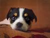 171126-Rita (Nape10) Tags: terrier jackrussell pet puppie dog olympus omd em1 zuiko micro43 microfourthirds
