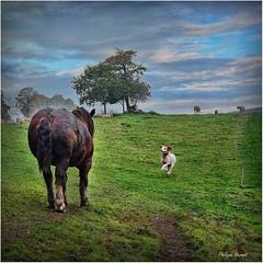 Saint Eloi - Guiscriff - Automne 2016 (Philippe Hernot) Tags: sainteloi guiscriff morbihan bretagne cornouaille france postierbreton cheval epagneulbreton carré kodachrome philippehernot fujifilmx100t fujifilm fuji posttraitement