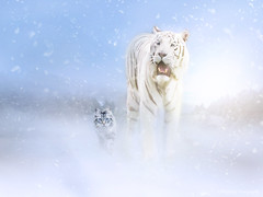 Wintertime Buddies (Frogdaily) Tags: animal cat bigcat tiger siberian snow winter landscape friends pet