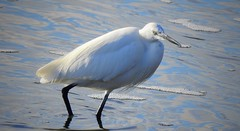 Little Egret (Egretta garzetta) (Nick Dobbs) Tags: tide estuary wader little egret egretta garzetta bird dorset river ardeidae animal water