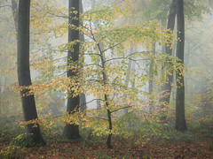 On the Turn (Damian_Ward) Tags: ©damianward damianward beech trees chilterns chilternhills thechilterns fog mist oxfordshire wood forest woodland