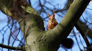 The tongue of the squirrel