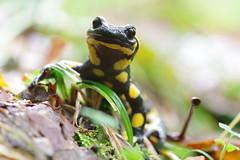 Feuersalamander (Aah-Yeah) Tags: firesalamander feuersalamander salamander salamandra caudata schwanzlurch achental chiemgau bayern