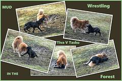 Mud wrestling (Missy2004) Tags: nikkorafs18140mmf3556gedvr newforest mud collage tiva tasku finnishlapphund flatcoatedretriever