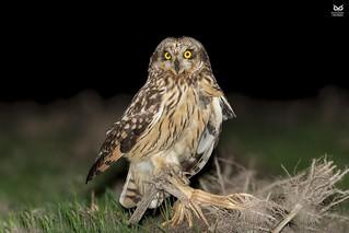 Coruja do Nabal, Short-eared Owl (Asio flammeus)
