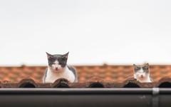 kittens (49) (Vlado Ferenčić) Tags: kitty kittens vladoferencic catsdogs cats vladimirferencic animals animalplanet zagorje hrvatska hrvatskozagorje klenovnik croatia nikond600 nikkor8518 roof