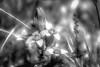 Silver Flower (Frédéric Fossard) Tags: fleur flore floral flower botanique plante végétal florealpine fleurdesmontagnes fleursauvage pétale pistil alpage bokeh flou profondeurdechamp nature texture noiretblanc blackandwhite monochrome hautesalpes art abstrait surréaliste lumière oisans blackwhitepassionaward