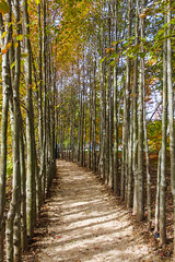 All Lined Up (joscelyn_p) Tags: trees tall fall fallfoliage woods groundsforsculpture newjersey hamiltonnewjersey canon lightroom scene