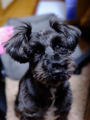 髪切った? (nanatsuhachi) Tags: dog penn ペン 犬 miniatureschnauzer doge いぬ ミニチュアシュナウザー
