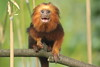 Look out! there's a large lens pointing this way! (charliejb) Tags: goldenheadedliontamarin golden tamarin primate 2017 bristolzoo zoo wildlife mammal clifton fur furry furred teeth