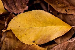 Autumn Glory (Kerstin Winters Photography) Tags: d5500 photography fotografie amateur red yellow orange cmwdorange cmwd outdoor newmexico autumn albuquerque nikkor nikondigital nikondsl nature natur flickrnature flickr detail texture farben colors macro closeup nahaufnahme naturephotography naturfotografie fallcolors herbstfarben herbst blätter blatt laub foliage leaves leaf